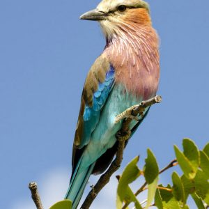 Lilac Breasted Roller Bird by Matthew Rainer Score: 20