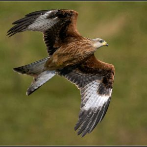 Red Kite by Bert Haddock Score: 18