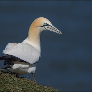 Gannet at Bempton Cliffs by Mel Barnes Very Highly Commended in Nature Section Score: 19 (October 2016)