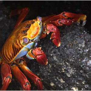 Sally Lightfoot Crab by Sue Shaw Score: 18