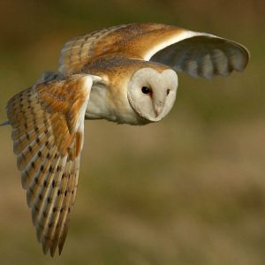 Barn Owl in flight by Bert Haddock CPAGB Winner of the digital Natural History category Score: 20 & Winner