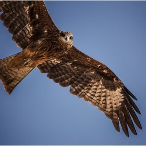 Black Kite by Mel Barnes Score: 18