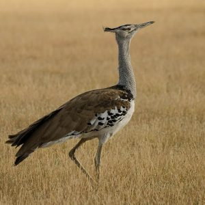 Bustard by Matthew Rainer Score: 18