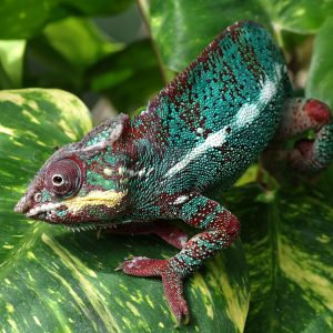 Chameleon by John Riley Commended in Nature Prints