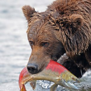 Grizzly with salmon by Bert Haddock CPAGB Score: 19
