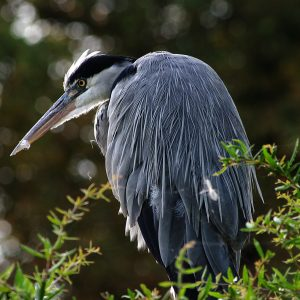 Heron by John Riley Very Highly Commended in Nature section