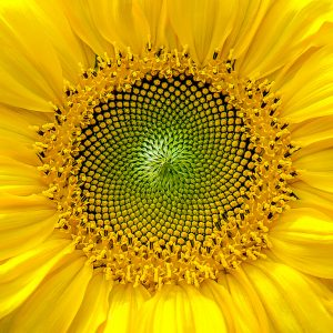 Sunflower Detail by Chris Stephens Very Highly Commended in Open Digital