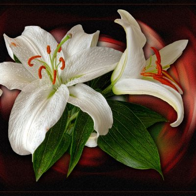 White Lily by Gerry Gentry Winner of the Creative Print Category and Best overall Print