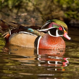 Wood duck by Theo Dibbits Score: 18