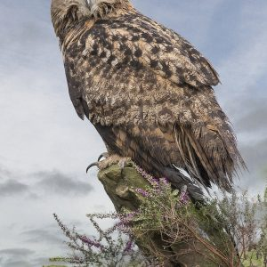 European Eagle Owl by Stuart Ogden Scored 20