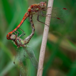 Common Darter Dragonfly by Mark Dyson, HC Nature DPI