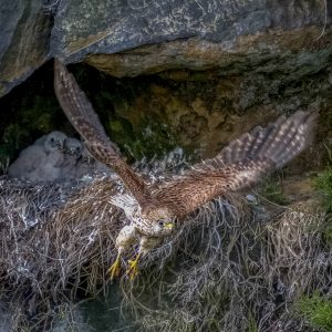 Kestrel Leaving the Nest by Stuart Ogden, VHC Nature DPI