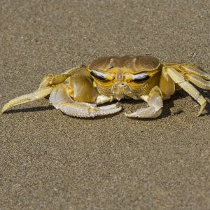 Ocypode Crab, Arossim Beach, Goa By Gwen Barnes, VHC Nature Print