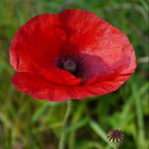 Poppy by Joanne Johnson, Scored 18