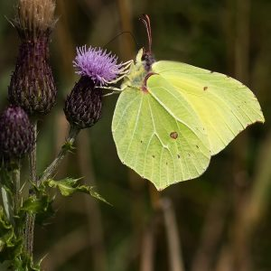 Brimstone Butterfly by Mark Dyson, scored 18