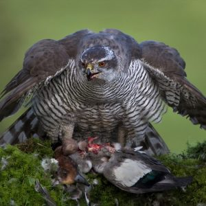 Goshawk with Kill by Lesley Davidson, scored 18