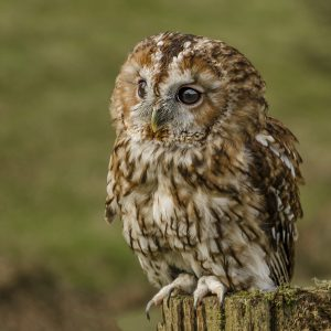 Tawny Owl by Janice Freeman, Natural History Digital, 12, Commended
