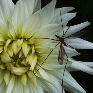 Crane Fly on Dahlia by Sue Riley, Natural History Digital, 12, Commended