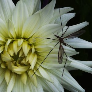 Crane Fly on Dahlia by Sue Riley, scored 18