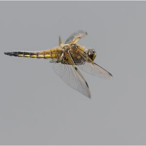 Four Spotted Chaser by Mike Dyson, scored 16