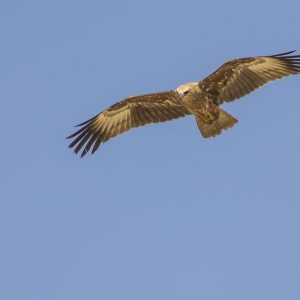 Red Kite, Goa by Gwen Barnes, scored 14