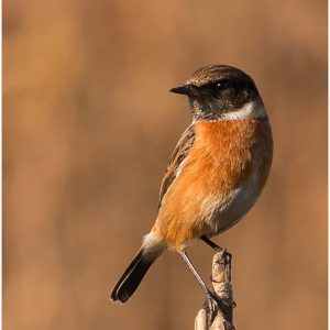 Male Stonechat by Mark Dyson, 14