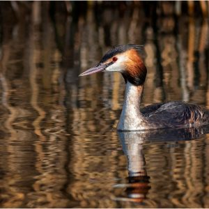 Great Crested Grebe by Mark Dyson, 19