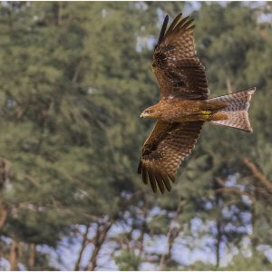 Red Kite, Goa by Mel Barnes, Natural History, VHC