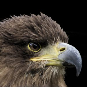 Golden Eagle by Lesley Davidson, 15