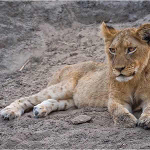 Lion Cub at Thornybush Reserve, South Africa by Gordon Armstrong, 18