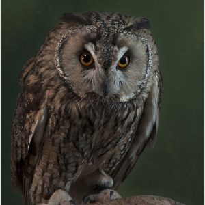 Tawny Owl Wth Attitude by Lesley Davidson, 18