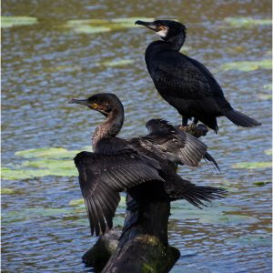 Cormorants by Sue Riley, 15