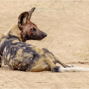 Wild Dog After Kill by Gordon Armstrong, 18