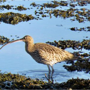 Curlew by Anne Smith, 15