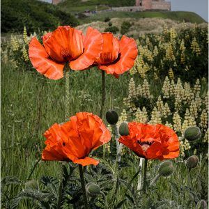 Poppies at Bamburgh Links by Gordon Armstrong, 19