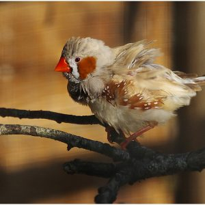 Zebra Finch by Sue Riley, 17